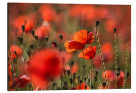 Cuadro de aluminio  Poppy field in Provence (France) - Christian Müringer