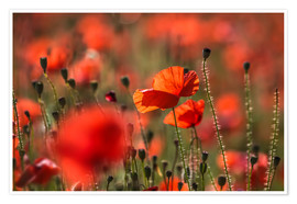 Póster Poppy field in Provence (France)