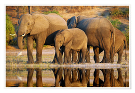 Póster Elephants at a river, Africa wildlife