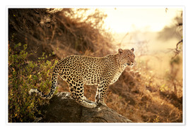 Póster female Leopard at sunset