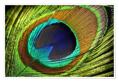 Póster Peacock feather