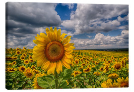 Lienzo  King of Sunflowers - Achim Thomae
