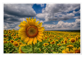 Póster  King of Sunflowers - Achim Thomae