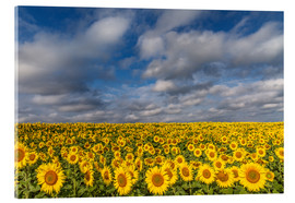 Cuadro de metacrilato  Sea of Sunflowers - Achim Thomae