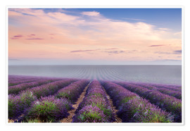 Póster  Landscape: lavender field in summer at sunrise, Provence, France - Matteo Colombo