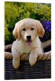 Cuadro de metacrilato  Cute Golden Retriever Puppy - Katho Menden