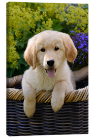 Lienzo  Cachorro de golden retriever - Katho Menden