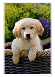 Póster Cachorro de golden retriever