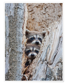 Póster  Raccoon in tree - Elizabeth Boehm