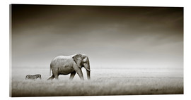 Metacrilato  Elephant walking past zebra size comparison - Johan Swanepoel