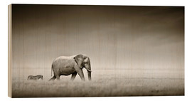 Madera  Elephant walking past zebra size comparison - Johan Swanepoel