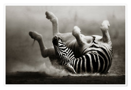 Póster  Zebra rolling upside down on dusty desert sand - Johan Swanepoel