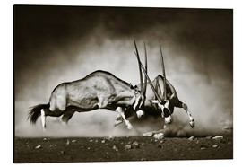 Cuadro de aluminio  Gemsbok antelope fighting in dusty sandy desert - Johan Swanepoel