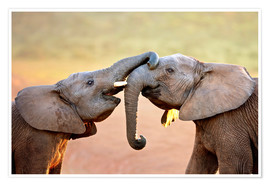 Póster Two elephants interact gently with trunks