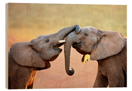 Madera  Two elephants interact gently with trunks - Johan Swanepoel