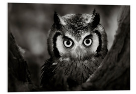 Cuadro de PVC  White-faced Owl perched in a tree - Johan Swanepoel