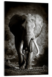 Johan Swanepoel - Elephant with huge tusks approaching