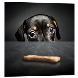 Cuadro de metacrilato  Dachshund puppy looking at out of reach treat - Johan Swanepoel