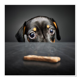 Póster  Dachshund puppy looking at out of reach treat - Johan Swanepoel