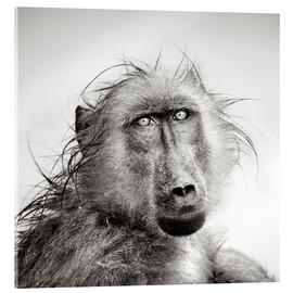 Cuadro de metacrilato  Wet Baboon portrait in the rain - Johan Swanepoel