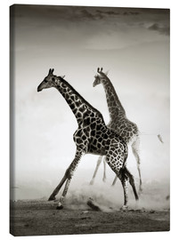 Lienzo  Giraffes running in the dust - Johan Swanepoel