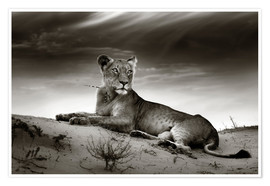 Póster  Lioness resting on top of a sand dune - Johan Swanepoel