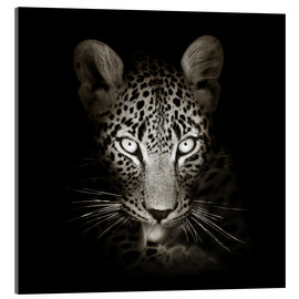 Cuadro de metacrilato  Leopard portrait licking it's paw - Johan Swanepoel