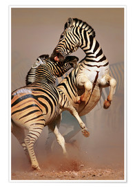 Póster Two Stallions fighting and biting with raised legs