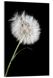 Cuadro de metacrilato  the big white dandelion