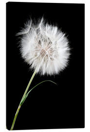 Lienzo  the big white dandelion