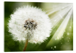 Metacrilato  dandelion flower in sun beam
