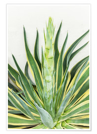 Póster  Agave americana