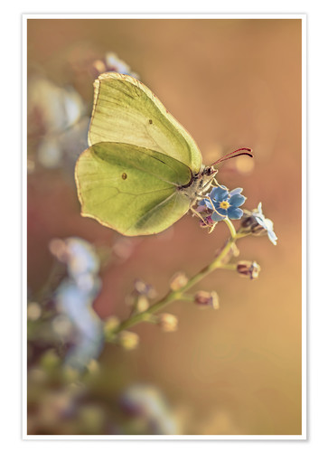 Póster Yellow butterfly on forget me not flower