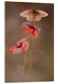 Metacrilato  Butterfly on poppy flower - Jaroslaw Blaminsky
