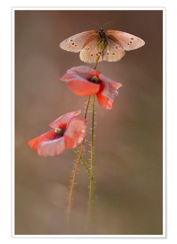 Póster Butterfly on poppy flower