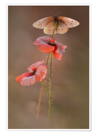 Póster  Butterfly on poppy flower - Jaroslaw Blaminsky