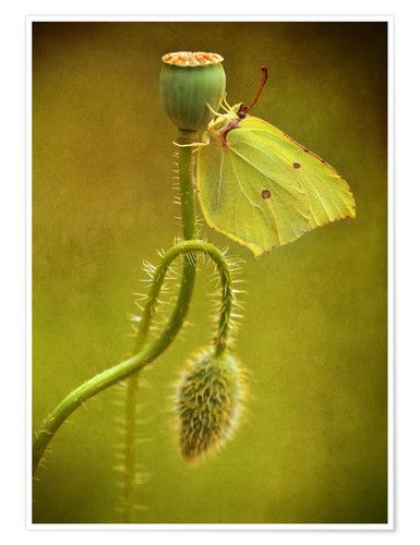 Póster Yellow butterfly on poppy head