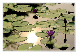 Póster Purple lotus flower