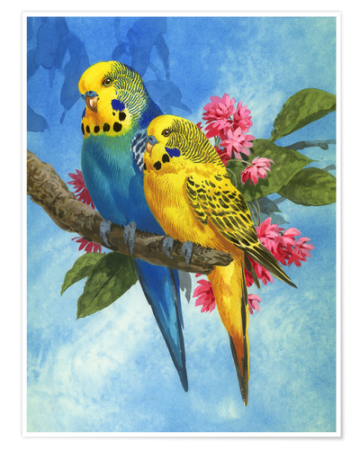 Póster 25916 Budgies on Blue Background