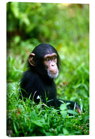 Lienzo  Chimpanzee in the jungle