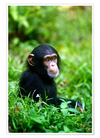 Póster  Chimpanzee in the jungle