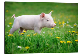 Aluminio-Dibond  Piglets on a spring meadow