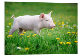 Forex  Piglets on a spring meadow