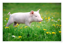 Póster  Piglets on a spring meadow