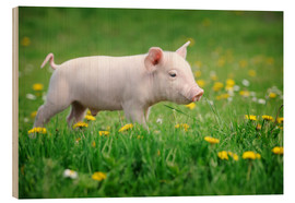 Madera  Piglets on a spring meadow