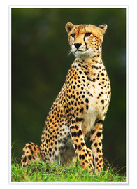 Póster  Portrait of an African cheetah
