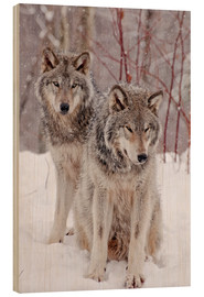 Madera  Wolf couple in snow