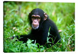 Lienzo  Little Chimpanzee