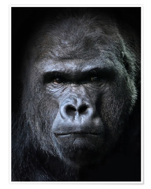 Póster  male gorilla in Portrait