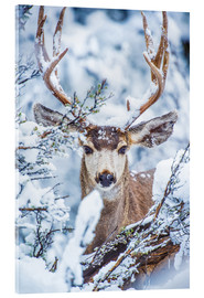 Snowy Stag